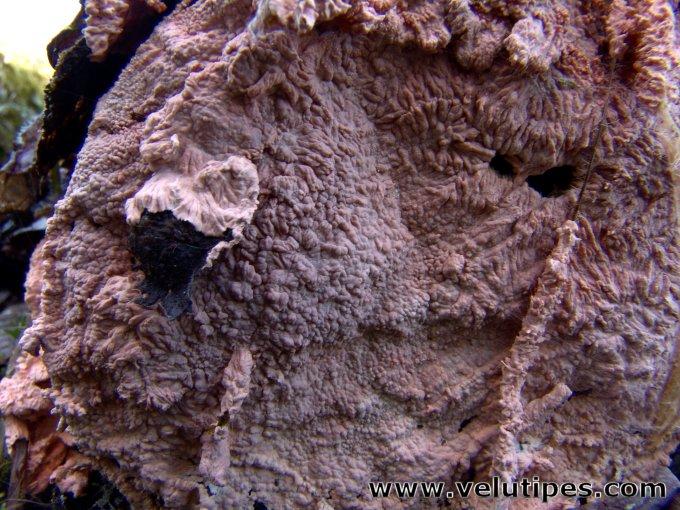 Laeticorticium roseum