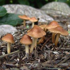 Sienet Pihanurmikolla